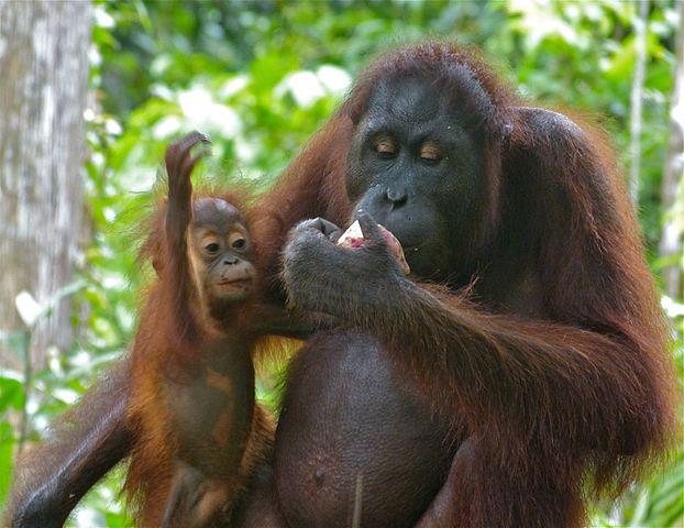 Bornean Orangutan with Infant