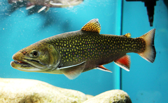 Brook Trout in captivity