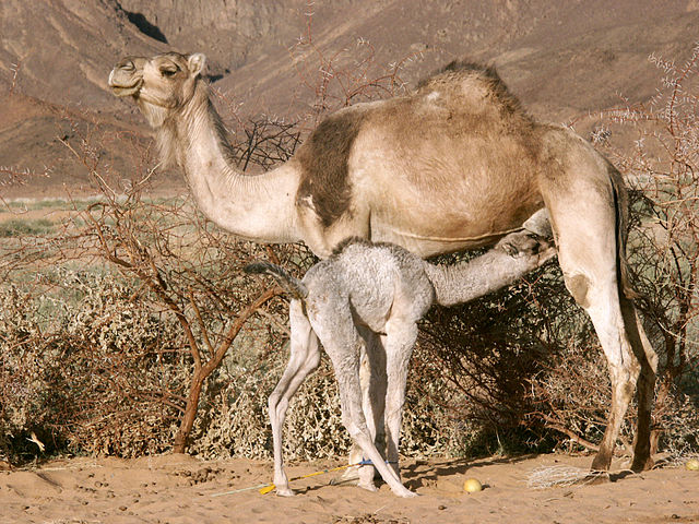 Camel with Calf