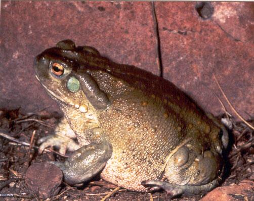 Colorado River Toad Population