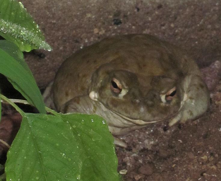 Colorado River Toad Food