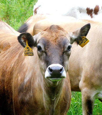 Cow Posture