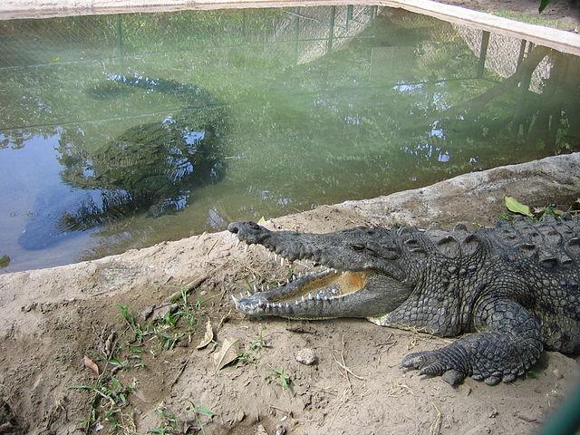 Crocodile in Habitat