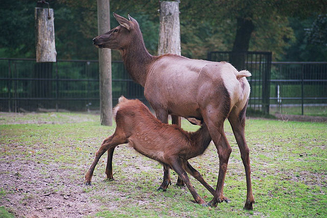 Female deer with young