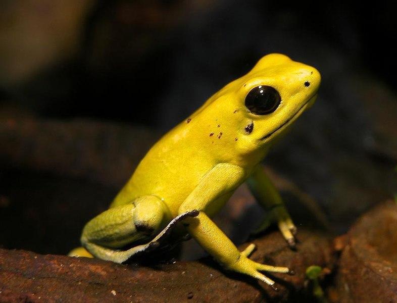 Gold Poison Dart Frog
