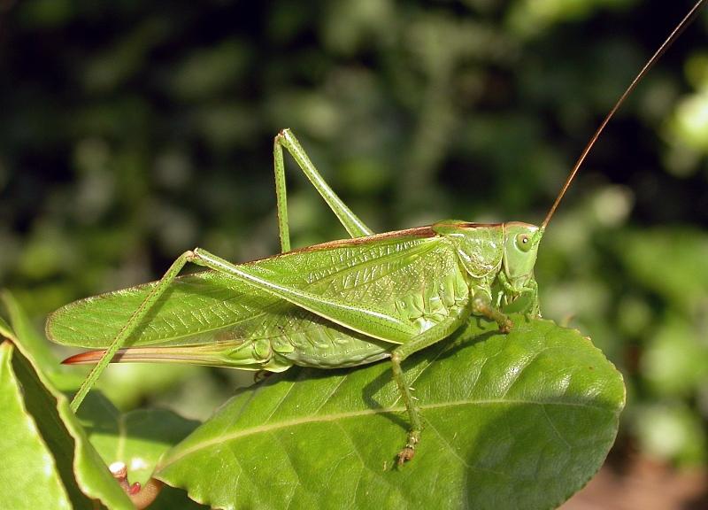 Grasshopper Habitat