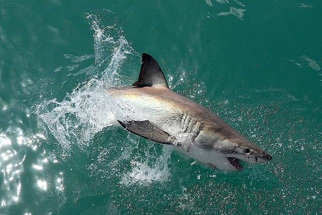 Great White Shark Habitat