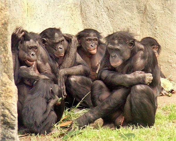 Group of Bonobos