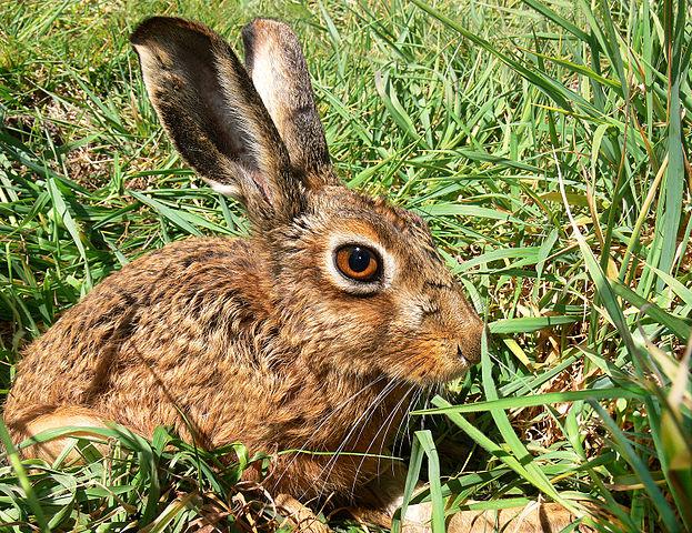 Hare Behaviour
