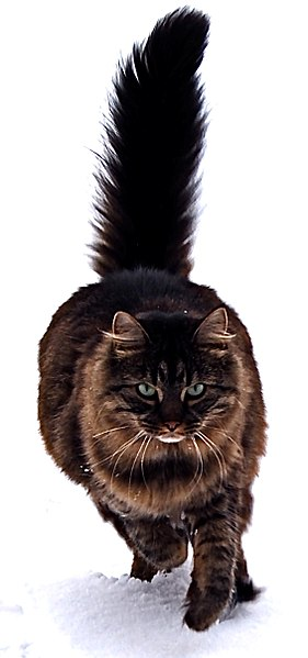 Maine Coon Cat Appearance