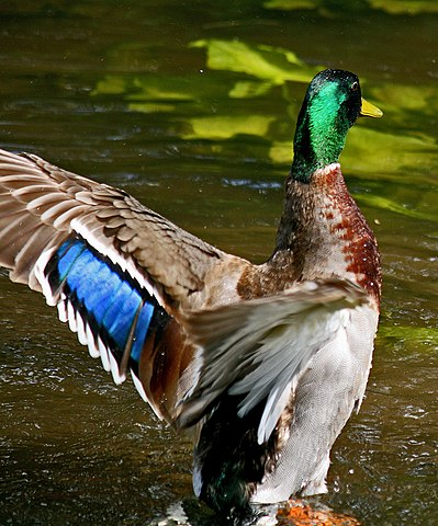 Mallard Duck Appearance