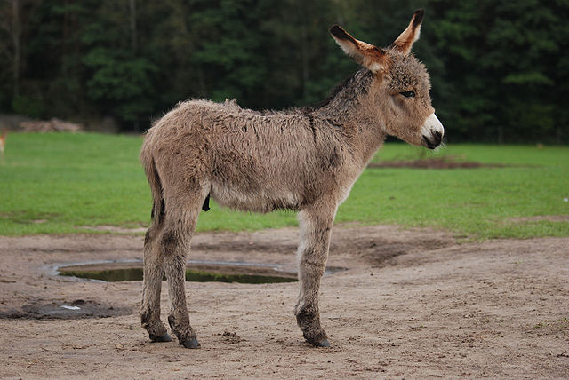 Newborn Donkey