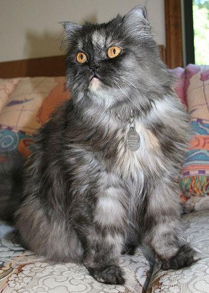 Persian Cat Appearance