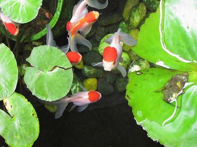Red Oranda Goldfish