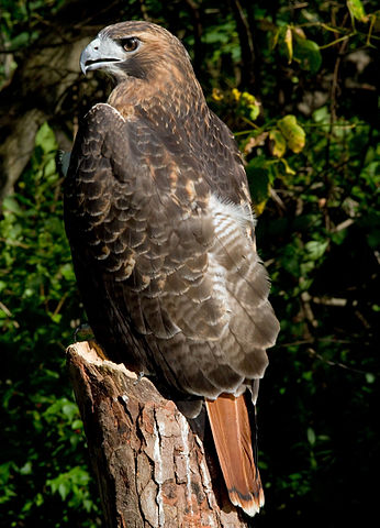 Red-tailed Hawk Appearance