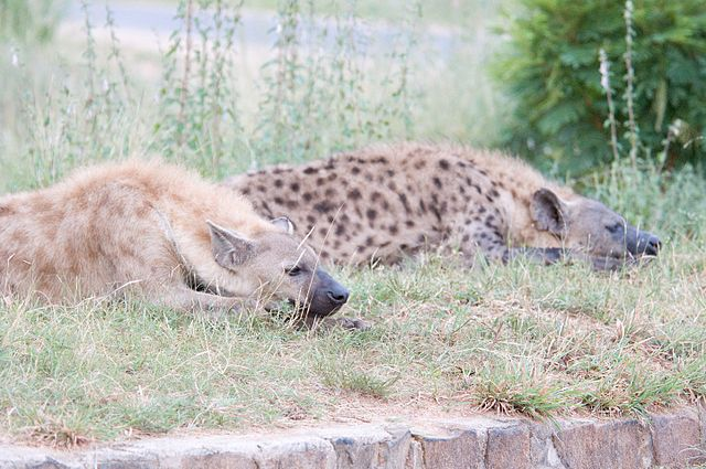Spotted Hyena Pair