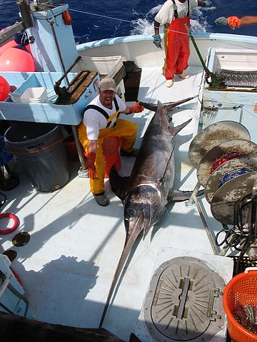 Swordfish Caught