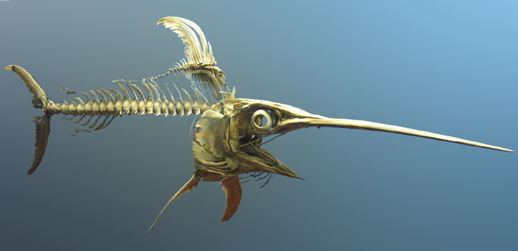 Swordfish Skeleton