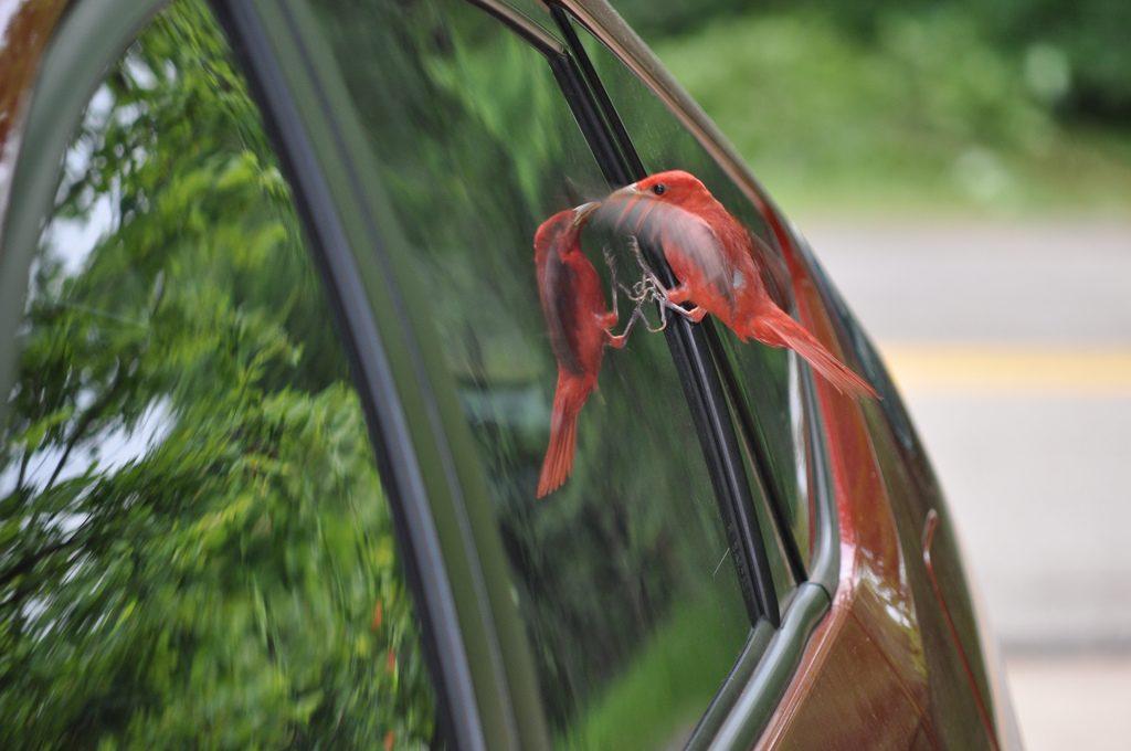 cardinal-window-reflection