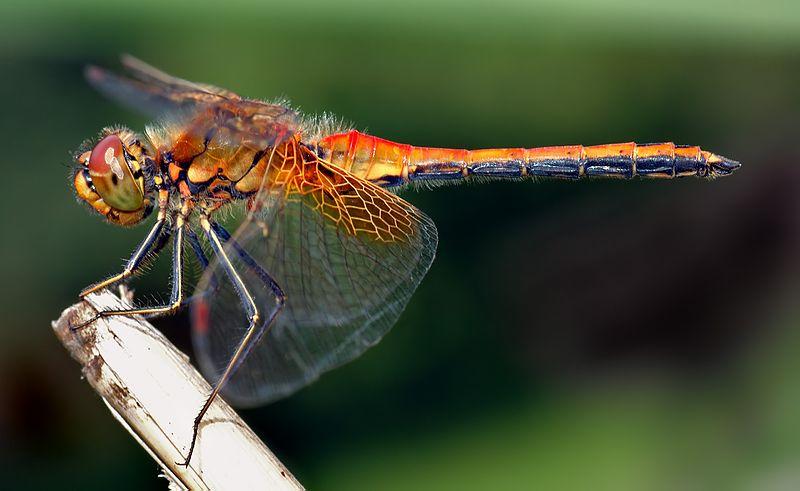 Dragonfly Population