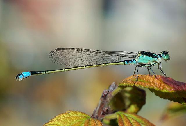 Dragonfly Behaviour