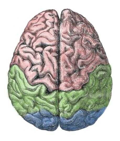 Cerebral Lobes
