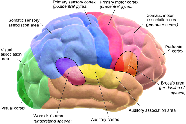 Functional Areas of Brain