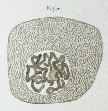 Nucleus of a Chironomus salivary gland cell