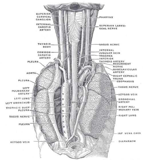 Position of Esophagus in cervical region