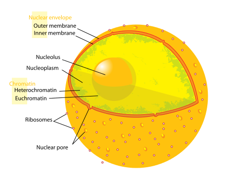 eukaryotic cell nucleus