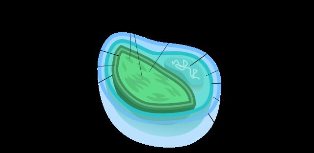 four membraned chloroplast
