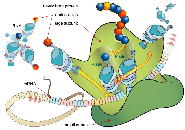 ribosome producing a protein