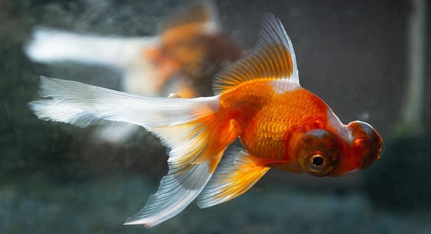 goldfish-aquarium