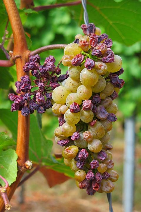 grapes-raisins